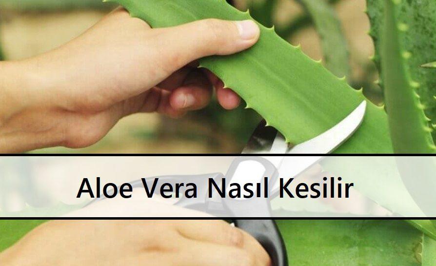 Aloe Vera Nasıl Kesilir